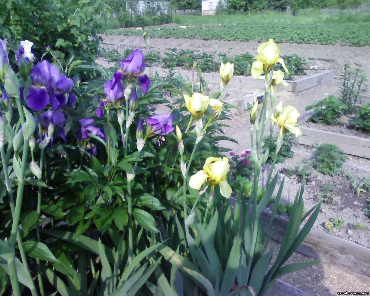 Цветы ирисы выращивание: уход и 59